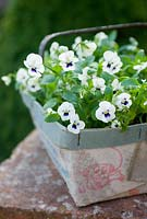 violas in old cardboard container