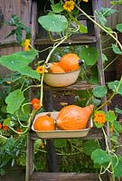 Squash potimarron and nasturtiums on vintage wooden steps