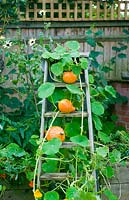 Wooden steps with squash hubbard and nasturtium