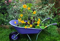 Sunflowers and nasturtiums growing in purple wheelbarrow
