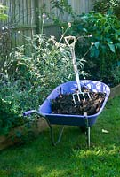 Garden compost in purple wheelbarrow for garden borders