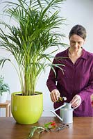 Woman adding plant feed to watering can. Areca Lutescens - Butterfly Palm