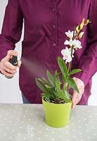 Misting Orchid Dendrobium with special solution.