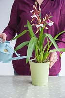 Watering Orchid Cambria with special Orchid formula.