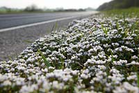 Cochlearia danica - Danish Scurvy-Grass growing along the edge of a road in Kent.