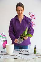 Lifting Orchid carefully from pot