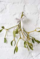 Viscum album - Bunch of Mistletoe hanging on white wall