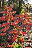 Rhus tree in autumn - young plant