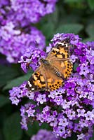 Painted Lady butterfly - Vanessa cardui on Heliotropium arborescens 'Marine'. Helitrope