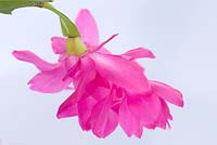 Zygocactus truncatus - Christmas cactus flower on white background