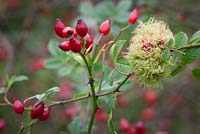Diplolepis rosae - Rose bedeguar gall, Robin's pincushion gall, or moss gall growing amongst rose hips.