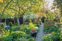 Formal town garden in spring with quince tree, roses trained over arches, box edging, Morello cherry, azalea in pot beside path and tulips.