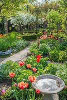 Formal town garden in spring with morello cherry, roses trained over arches, box edging and tulips. Bird bath reflecting clouds.