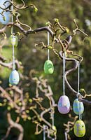 Small decorative eggs hanging from branch of Corylus avellana 'Contorta'