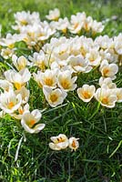 Crocus 'Cream Beauty' growing through turf