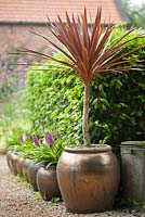 Cordyline - Cabbage Palm in ceramic urn.