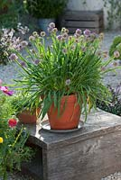Allium senescens - Mountain leek and Thymus - thyme in terracotta containers - summer