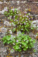 Cymbalaria muralis - Ivy leaved Toadflax growing in an old brick wall. Kenilworth ivy.