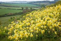 Primula veris - Cowslips growing on a hill in Hampshire.