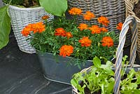 Conservatory with metal container planted with orange calendulas