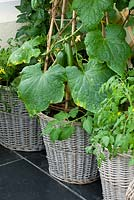 Conservatory with wicker baskets/ containers planted with tomatoes and cucumbers
