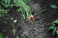 Carrots attacked by spotted millipede due to dry soil conditions