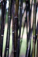 Phyllostachys 'Nigra'. Sir Harold Hilliers Gardens.
