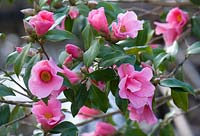 Camellia x williamsii 'Bow Bells'. RHS Wisley.