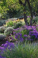 Aster 'Veilchenk�nigin' under apple tree