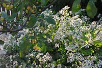 Aster divaricatus growing under ornamental apple Malus sieboldii 'Calocarpa'