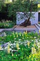 The Laurent-Perrier Garden. RHS Chelsea Flower Show 2014. Contemporary formal garden with yellow and white planting. Multi stemmed Amelencheir, concrete panel in clipped yew hedge. Lupinus 'Chandelier', beech domes, orlaya grandiflora and euphorbia