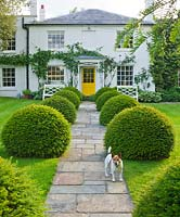 The front garden with stone path, house with yellow door, clipped yew topiary balls and pesto the dog. Gipsy House, Buckinghamshire