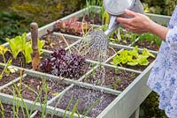 Square Foot gardening in a vegetable trug. Planting Salad Leaves 'Bright and Spicy'. Watering
