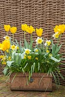 Vintage metal container with Narcissus 'Hawera', Narcissi 'Las Vegas', Narcissi 'Tete-a-Tete', Tulipa darwin 'Golden Apeldoorn', Narcissus 'Actaea'