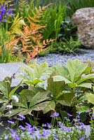 Rodgersia podophylla planted inbetween granite walkway. The Brewin Dolphin Garden.