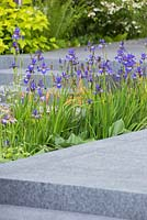 Planting of Iris sibirica 'Shirley Pope' and Hosta 'Royal Standard' in between granite walkway. RHS Chelsea Flower Show 2014 - The Brewin Dolphin Garden, awarded silver gilt