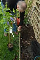 Man planting Clematis alpina 'Blue Dancer' - digging hole against wall with trellis