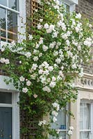 Rosa 'Madame Alfred Carriere' trained on front wall of house
