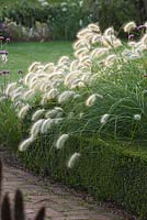 Pennisetum Villosum in box edged bed