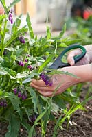 Picking comfrey growing in raised bed with herbs and vegetables. - Making a home made fertilizer from common comfrey - Symphytum officinale