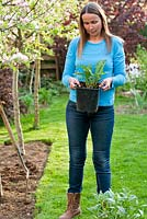 New perennials border under apple trees. Creating a new perennials border under apple trees. Woman planning and setting out plants in their containers to find the best arrangement and correct spacing. Persicaria amplexicaulis 'Firetail'.