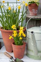 Narcissus 'Tete a Tete' with 'Jack Snipe' in containers
