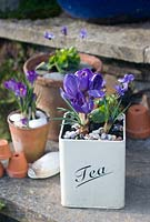 Purple crocus in tea tin on steps