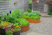 Spring backyard edible garden with metal-edged raised beds, blue bottles and curly copper sculpture as garden art, wooden slat fence and garden shed. Sedum rupestre 'Angelina' - Stonecrop, Lactuca sativa - Lettuce.