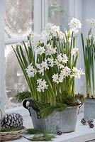 Narcissus Paperwhite 'Ziva' - daffodils in metal pot