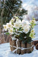 Helleborus niger 'Wintergold' - Christmas Rose in  pot wrapped in cones