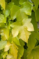 Hedera helix 'Buttercup'