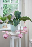 Medinilla magnifica window - Medinille on flower stool by the window