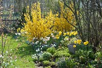 Spring border with Forsythia 'Lynwood' and Narcissus