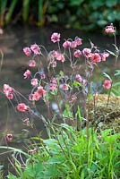 Geum rivale - water avens
